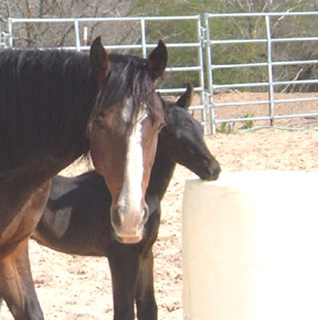 Driftwood Kate and Trooper, 2007 Stud Colt